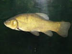 Tench (Tinca tinca)